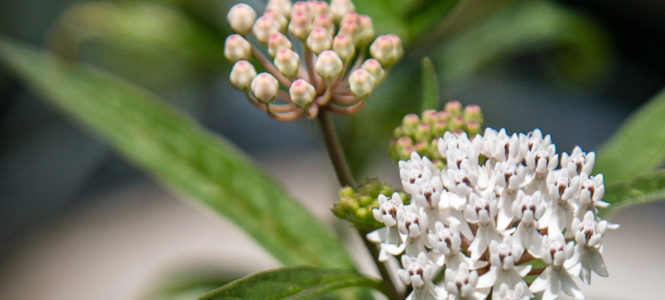 Milkweed grown at the Mimsie Lanier Center for Native Plants is available at the Garden's giftshop at long last. There has been a national shortage as people are planting in their gardens to help the endangered Monarch butterfly.