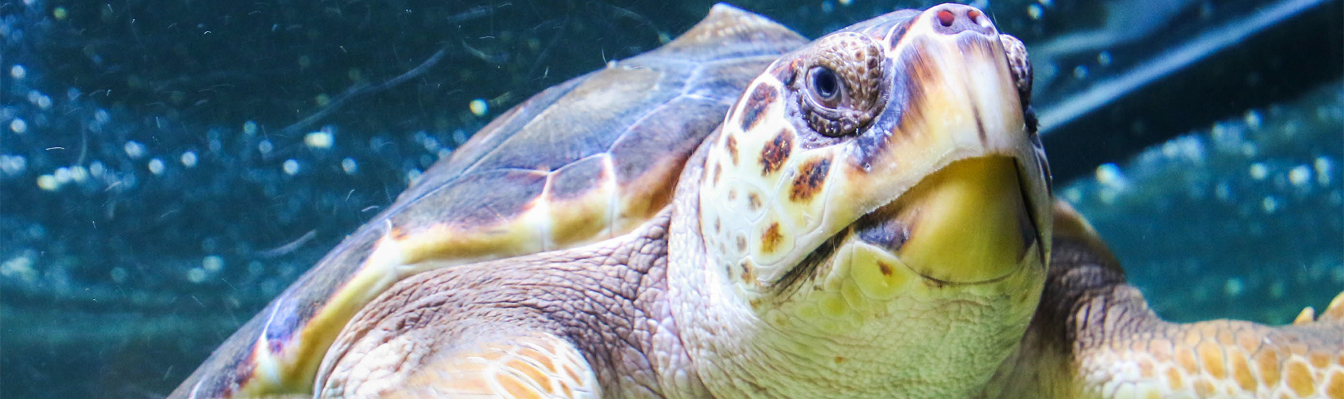 Neptune the sea turtle