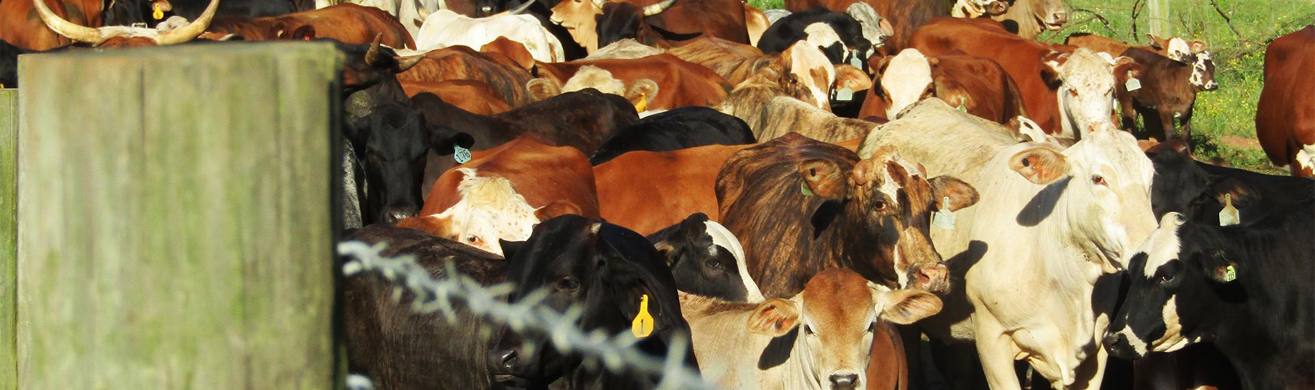 SBDC Cattle Ranch slider