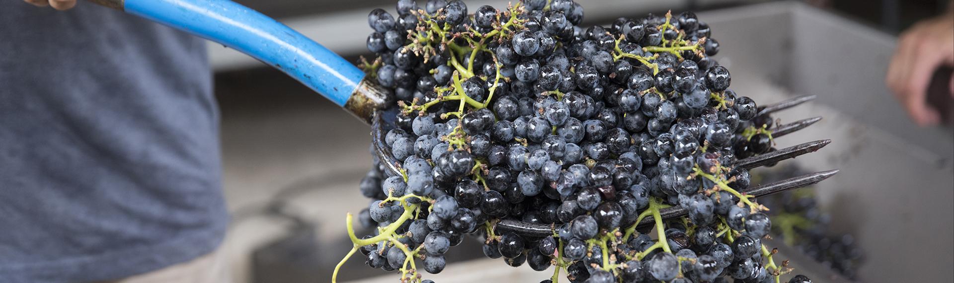 Growing Georgia Wine