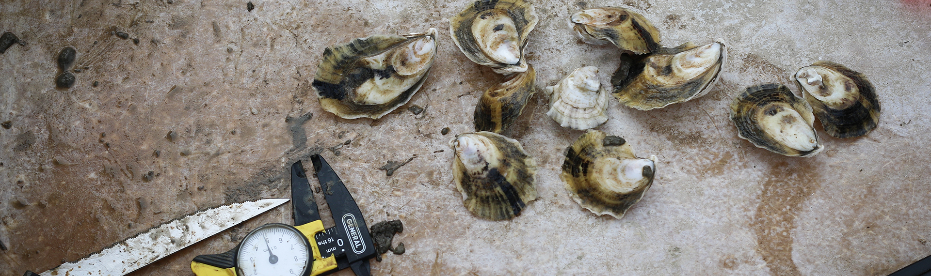 oysterresearch