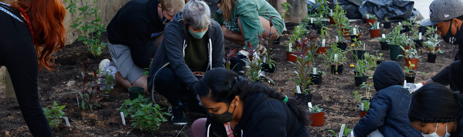 Volunteers are planting pollinator plants in the ground