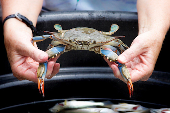 New project will investigate the impacts of Georgia's blue crab fishery