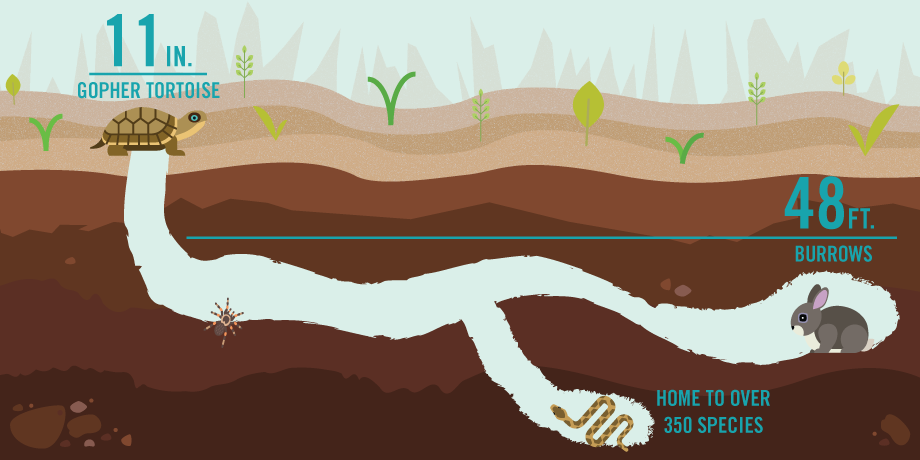 A graphic depicts the length of the gopher tortoise compared to the length of its burrow. A snake, spider and rabbit sit in the burrow.