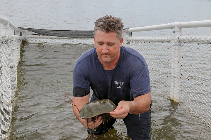 Marine Extension and Georgia Sea Grant Associate Director Bryan Fluech examines a horseshoe crab