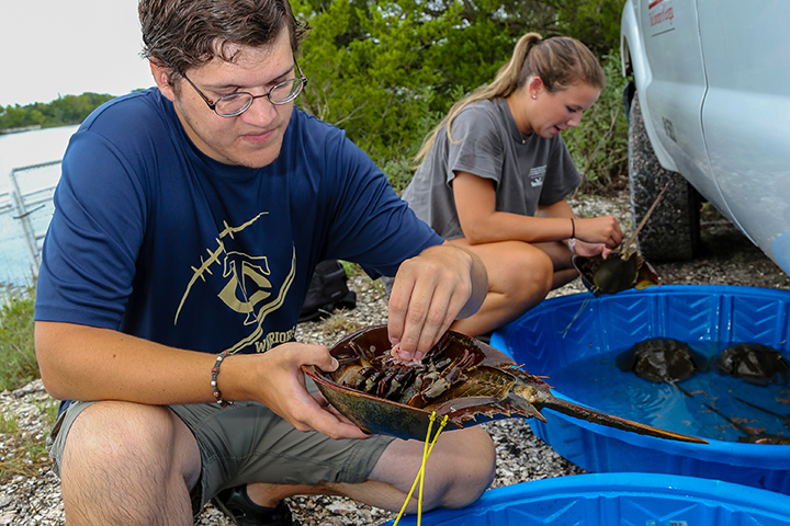 An intern with Marine Extension and Georgia Sea Grant examines a horseshoe crab