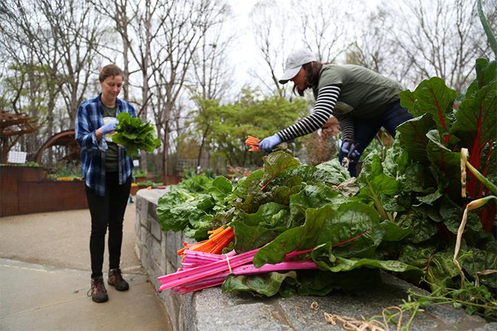 Botanical garden employees harvest produce from the children's garden.