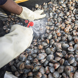 Clams are cleaned with a hose