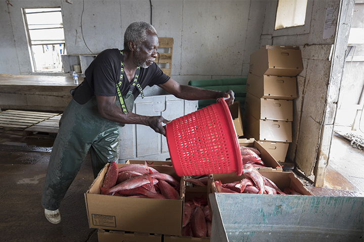 A dock worker pours a bucket of fresh fish into a box for shipping.