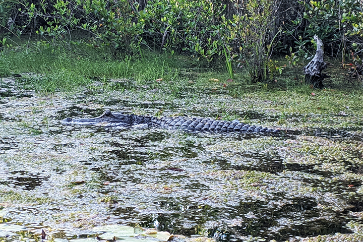 An alligator floats in the water at Okefenokee Swamp Park.