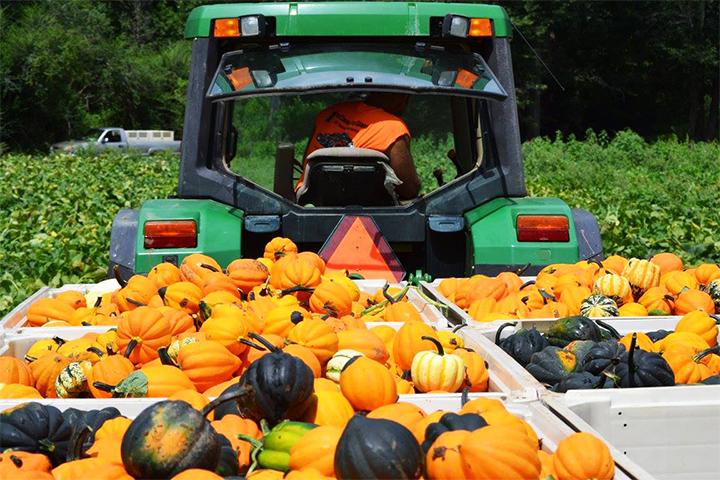 A tractor hauling pumpkins