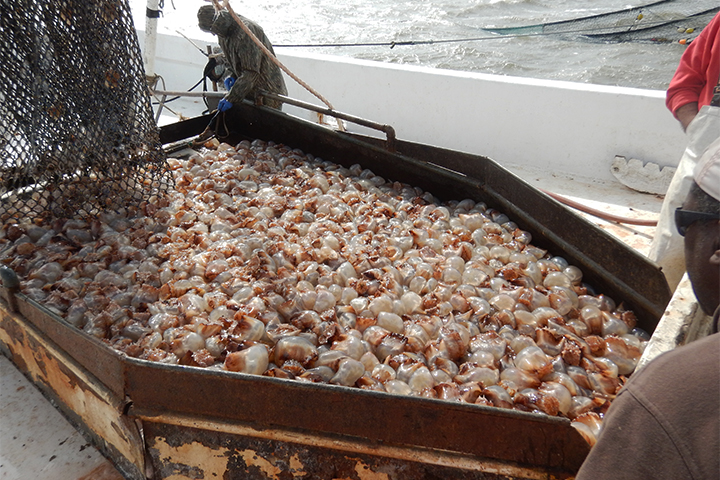 The net full of jellyfish is emptied onto a ship.