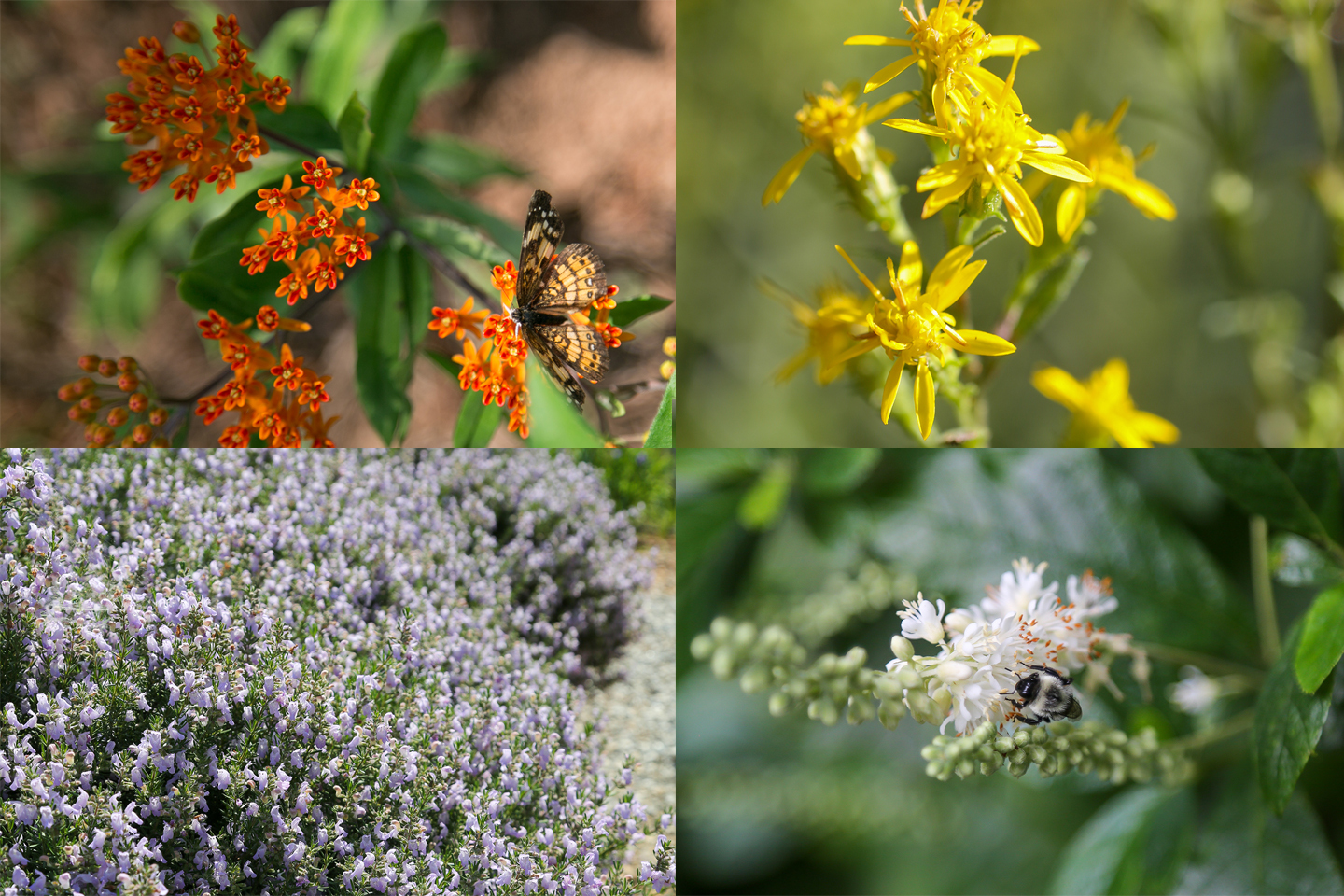 A collage showing the four Georgia Pollinator Plants of the Year