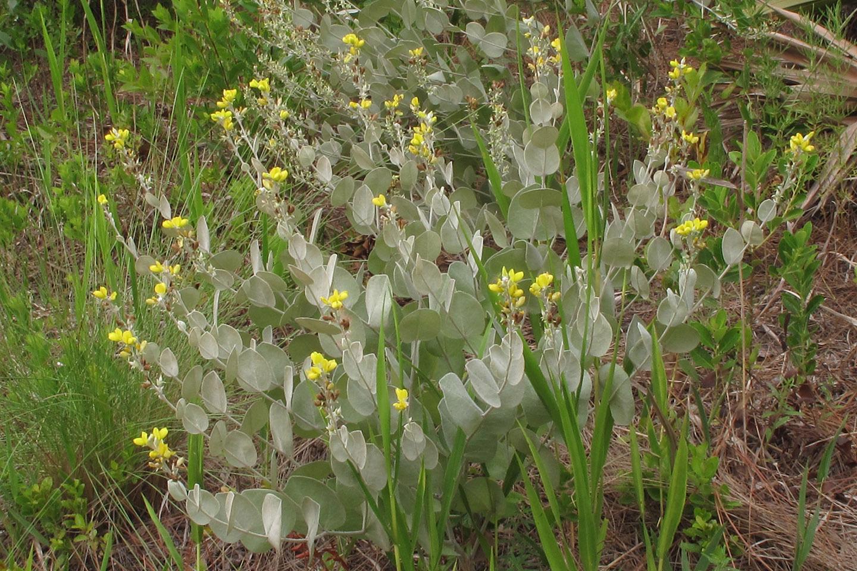 Hairy rattleweed