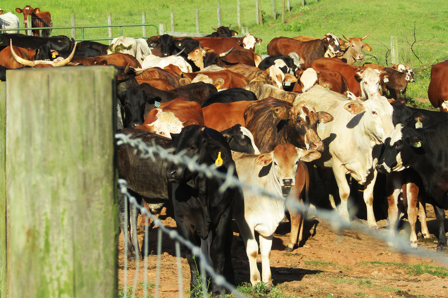 Cattle standing behind a barb wire fence