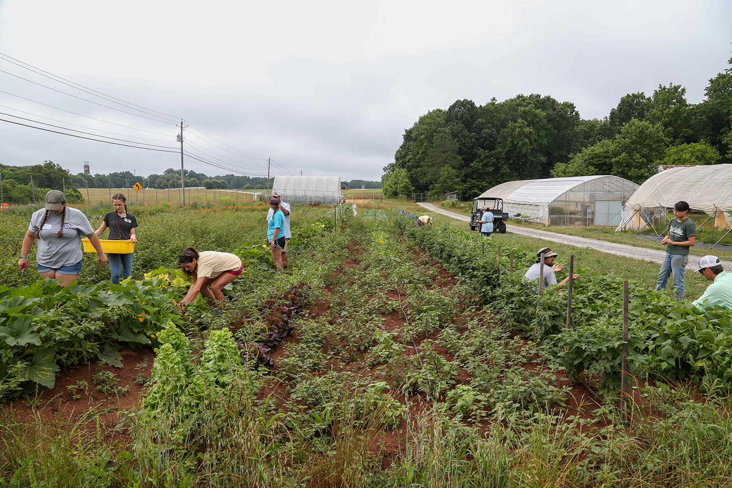 Teachers harvesting produce in a field at the UGArden
