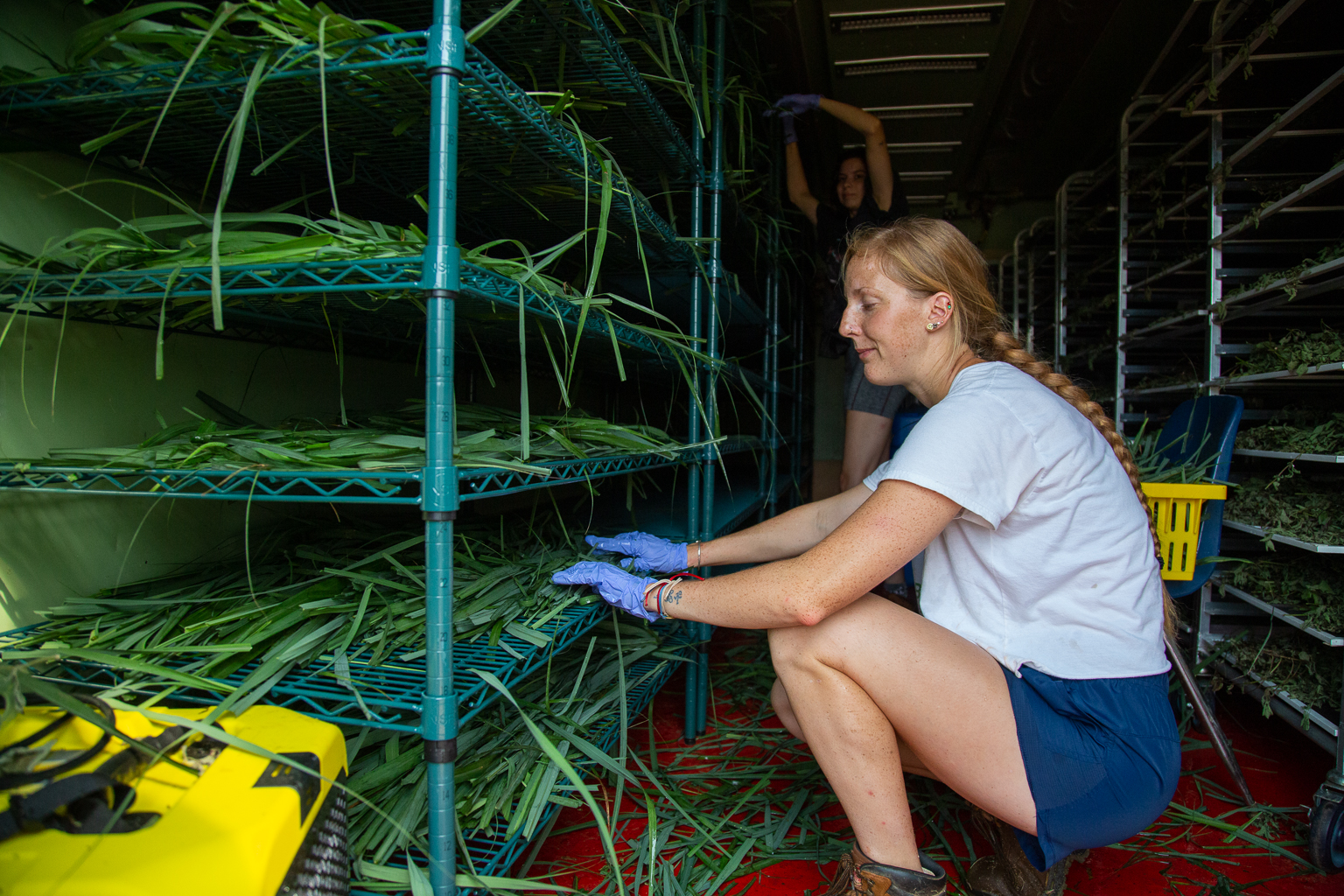 Students load lemongrass into the container to be dried and stored for use in herbal tea